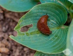 Ślimaki chętnie zjadają liście funkii (Hosty)