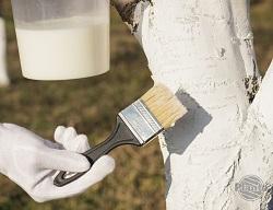 Do bielenia drzew wykorzystujemy mleko wapienne. Jest to wapno rozrobione z wodą w proporcji 1kg wapna na 5 litrów wody