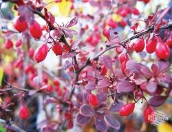 Kolczaste krzewy z owocami są atrakcyjne dla ptaków zarówno w lecie jak i  w zimie
