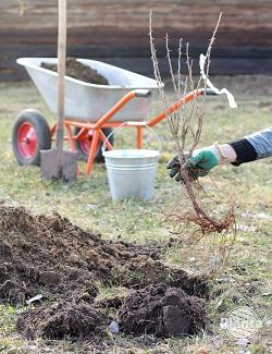 Wybierając sadzonki możemy zdecydować się na te z odkrytym korzeniem lub w doniczkach.