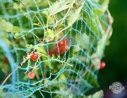 Siatka przeciw ptakom chroni owoce przed nieproszonymi gośćmi.