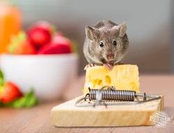 Najpopularniejszą i stosowaną już od lat metodą walki z gryzoniami są tradycyjne łapki na myszy