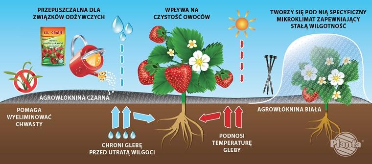 Agrowłóknina czarna i biała jest bardzo przydatna w uprawie truskawek.
