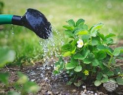 Podlewanie jest szczególnie ważne w okresie owocowania.