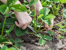 Po owocowaniu osuwajmy rozłogi, które osłabiają rośliny.
