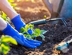 Zakładając poletko z truskawkami wybierzmy sadzonki dostępne w centrach ogrodniczych lub samodzielnie przygotujmy rozsady.