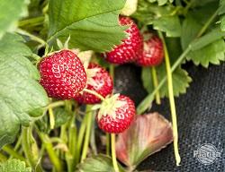 Truskawki to niskie byliny, które można uprawiać zarówno w gruncie jak i w pojemnikach