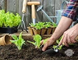 Rośliny możemy wysiać lub kupić rozsady