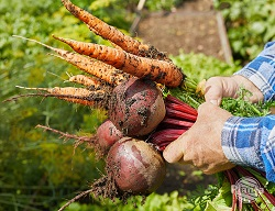 Po zbiorze warzyw musimy usunąć wszystkie resztki oraz oczyścić grządki z chwastów