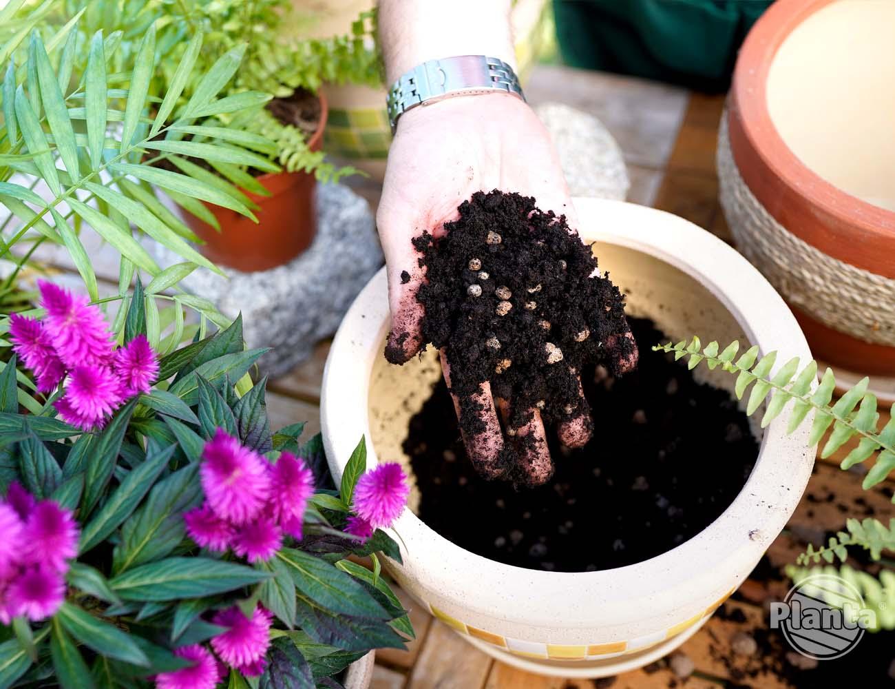 Keramzyt zmieszany z podłożem zapewnia dostęp powietrza do korzeni