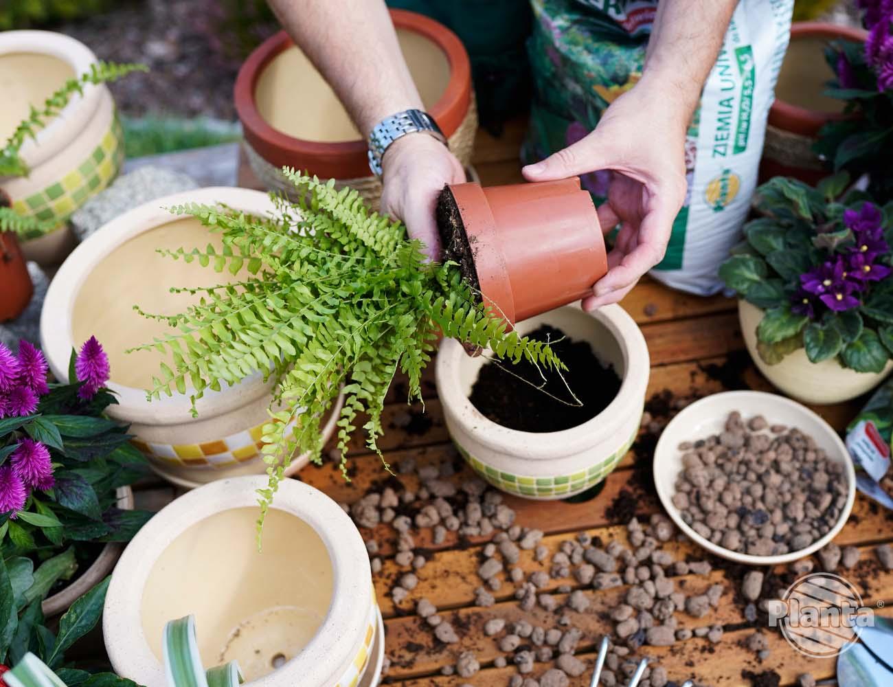 Roślinę wyjmujemy z dotychczasowej osłonki