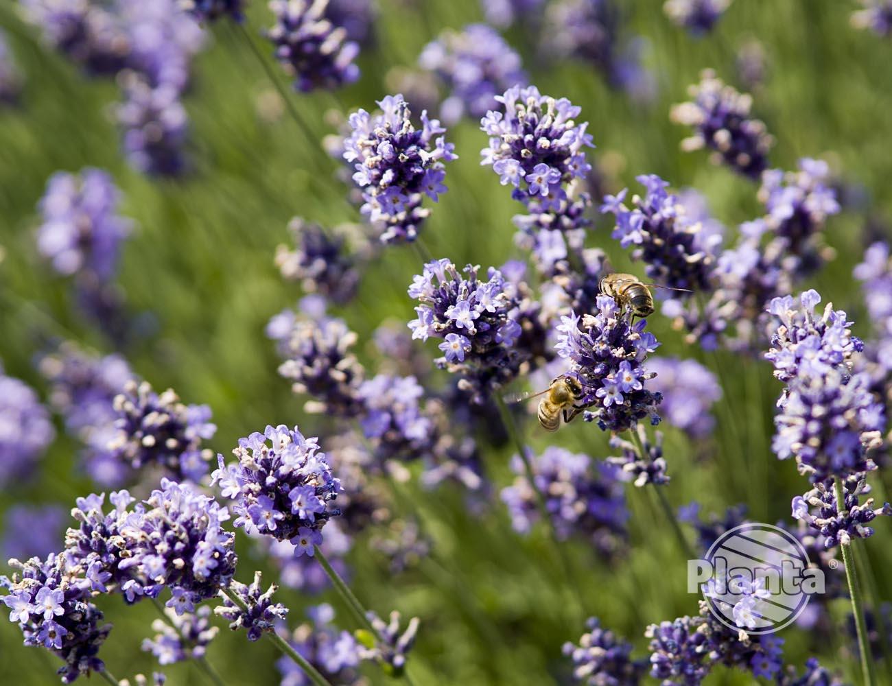 Lawenda przyciąga owady pożyteczne i motyle