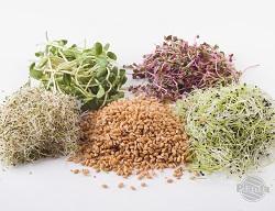Wybór nasion do kiełkowania jest ogromny – poczynając od nasion pojedynczych roślin po różne, specjalnie skomponowane mieszanki.