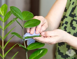 Przecieranie liści z kurzu zapewnia roślinom większy dostęp do światła.