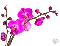 Najczęściej spotykanym i uprawianym storczykiem jest Phalaenopsis