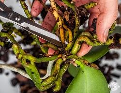 Inspectăm rădăcinile și îndepărtăm cu grijă toate cele uscate, putrede și moarte