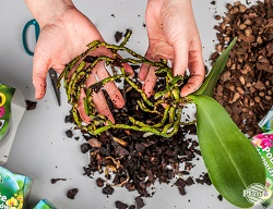 Orhideea curățată în acest mod este pregătită pentru transplant pe un nou substrat