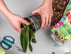 Pentru ca rădăcinile să fie elastice și să nu se rupă în timpul transplantului, este bine să udăm orhideea în prealabil