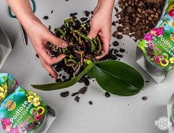 Îndepărtați ușor vechiul substrat, având grijă să nu deteriorați rădăcinile delicate
