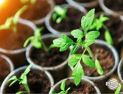 Rozsada to młode rośliny, które jesteśmy w stanie uzyskać w domowych warunkach.