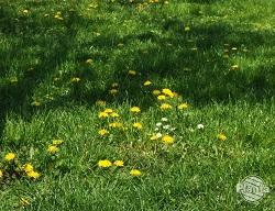 Mniszek lekarski to niemile widziany gość na naszych trawnikach.