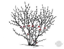 Wiosenne cięcie forsycji