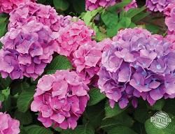 Kwiatostany Hortensji ogrodowej