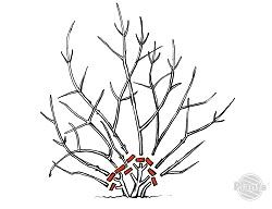 Wiosenne cięcie derenia białego