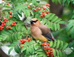 Rośliny, które wytwarzają owoce zwabiają do ogrodów ptaki zimą.